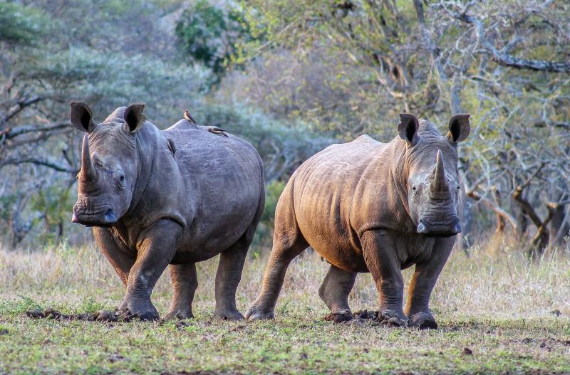 rhinopair